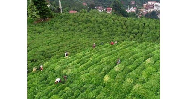 2021 Yaş çay kampanyası açılıyor