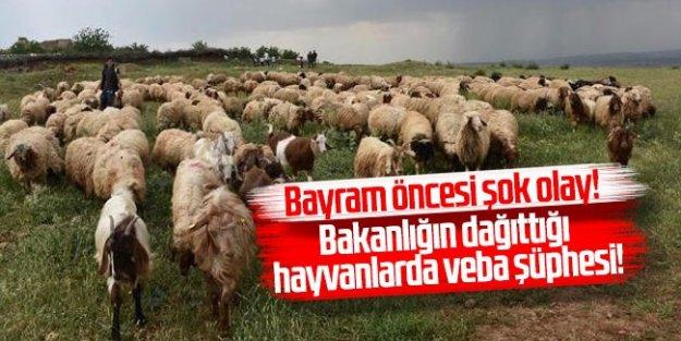 Bayram öncesi şok olay! Bakanlığın dağıttığı hayvanlarda veba şüphesi!