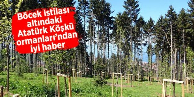 Böcek istilası altındaki Atatürk Köşkü ormanları'ndan iyi haber